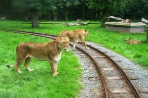 Leeuwen in Bellewaerde