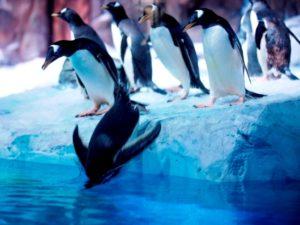 De pinguïns nemen hun eerste duik in de Penguin Bay van Legoland Billund